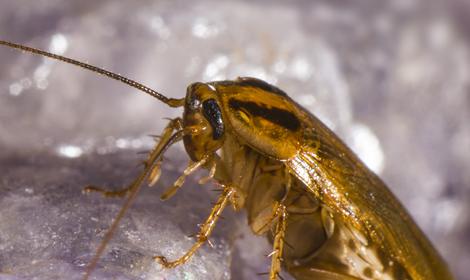 kakkerlakken close-up