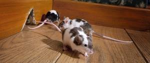 muizen en ratten bestrijden
